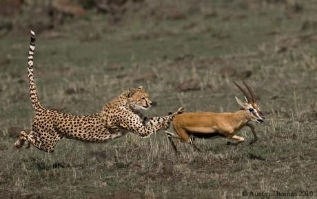 Cheetah Antelope